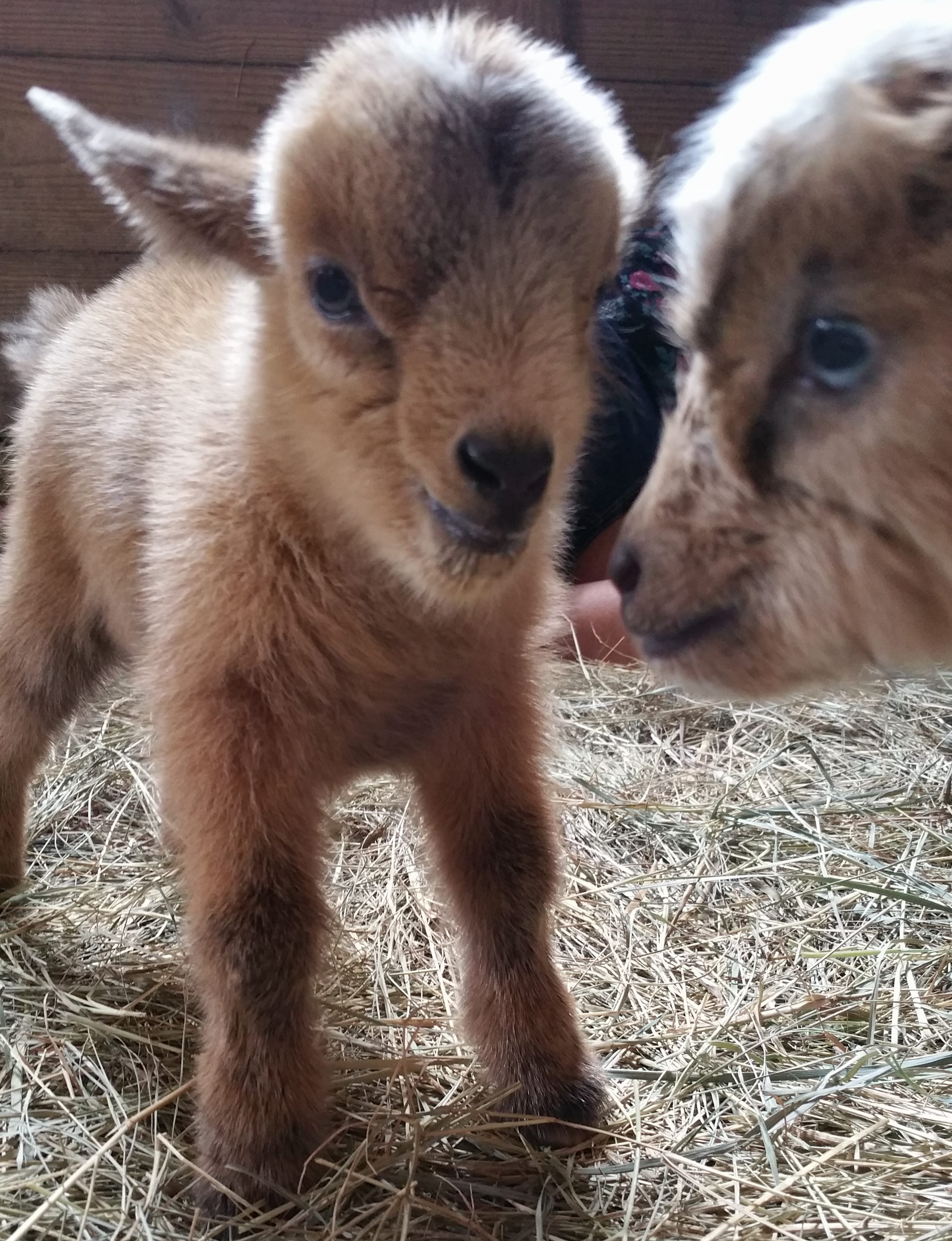 baby goats for sale in florida